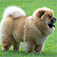 Chow Chow 101 - Everything You Need to Know about Chow Chows