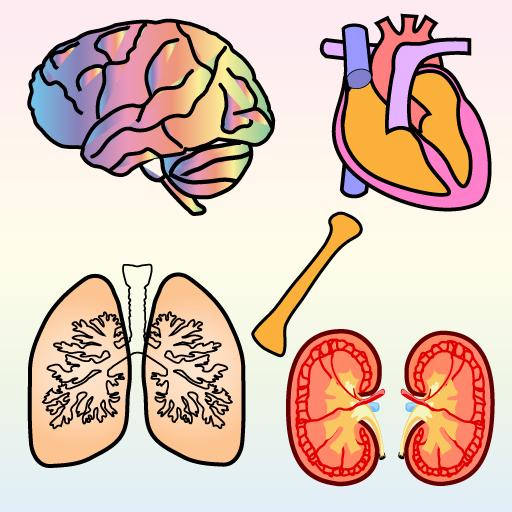 Human body organs diagram for kids
