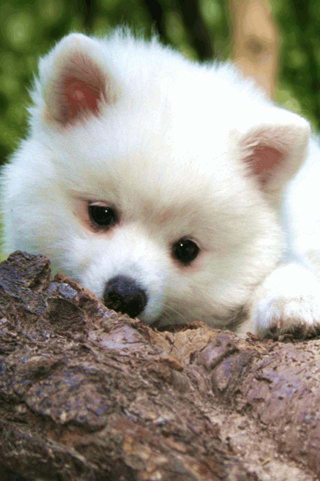 Pomeranian Wallpaper HD