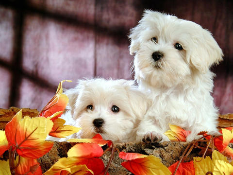 2000 Cute Puppy Jigsaw Puzzle Pro