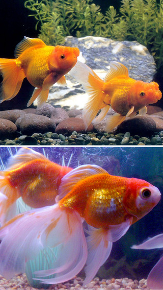 Cute GoldFish Wallpapers - Best Collection Of Cute GoldFish
