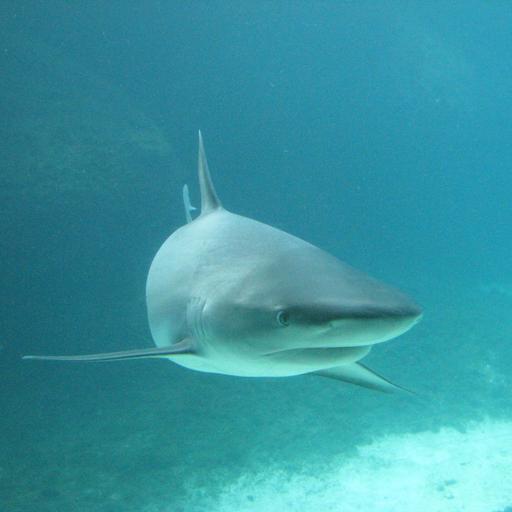 Sharks Study Guide
