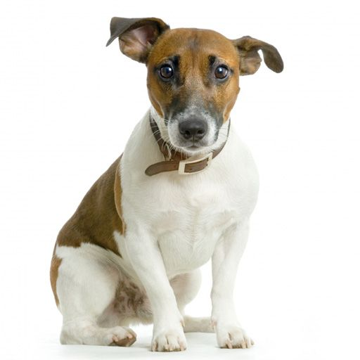 SlidePuzzle - Jack Russel Terrier