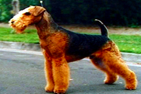 The Airedale Terrier Book screenshot #1