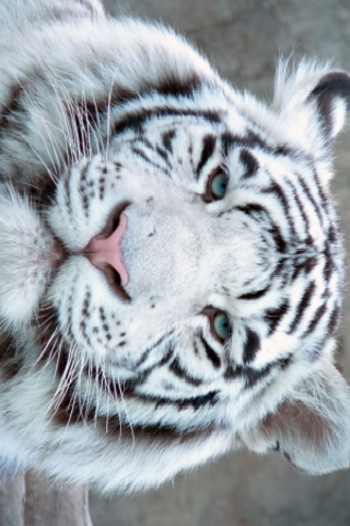 White Tiger Slide Puzzle screenshot #1