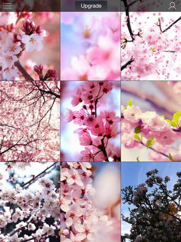 Sakura Wallpapers, Japanese Cherry Blossom Flowers screenshot 6