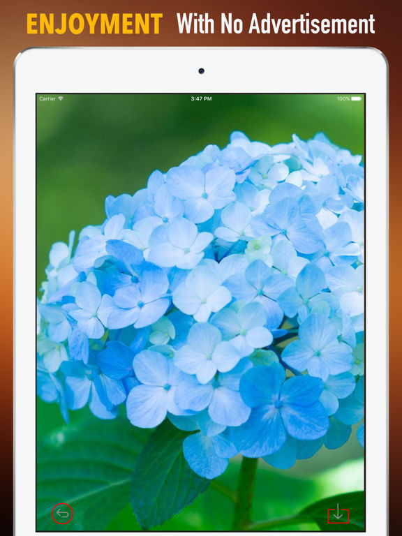 Hydrangea Wallpapers HD- Quotes and Art Pictures screenshot 7